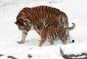 tiger_siberian_tiger_tiger_baby