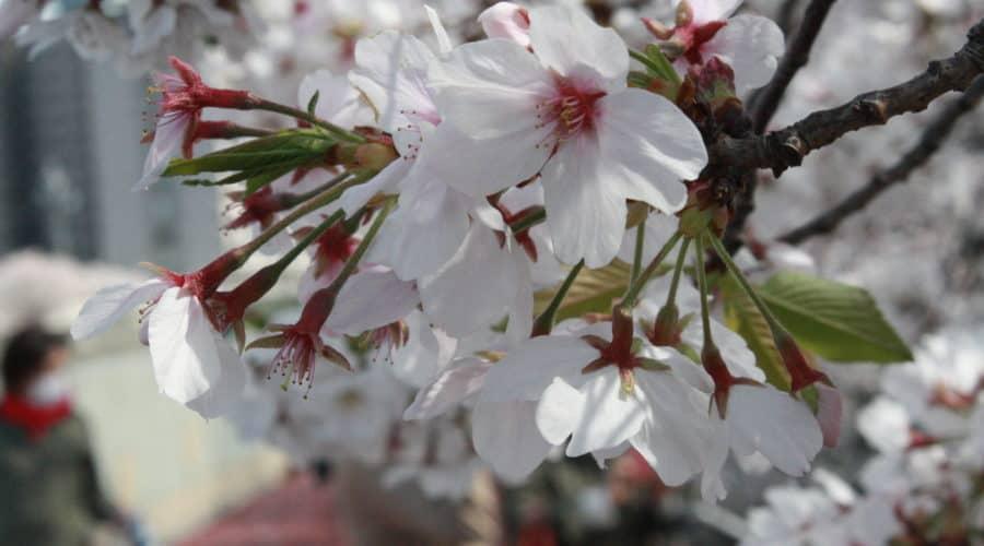 スミス英会話京橋校ブログ - 日本の春